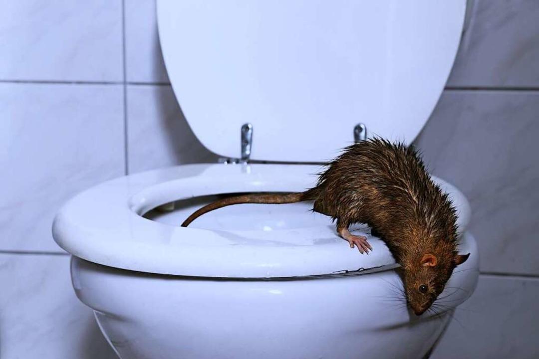 Ratten in der Kanalisation braucht kei...er Bekämpfung schadet aber der Umwelt.  | Foto: H.T. Kirk