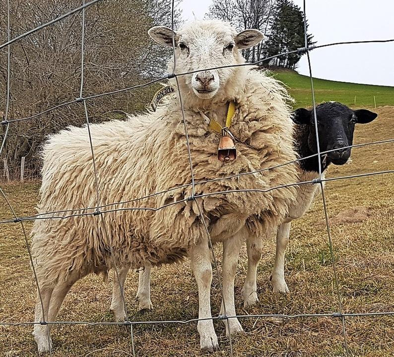 Schafe hinter dem Wolfszaun  | Foto: Gerald Nill