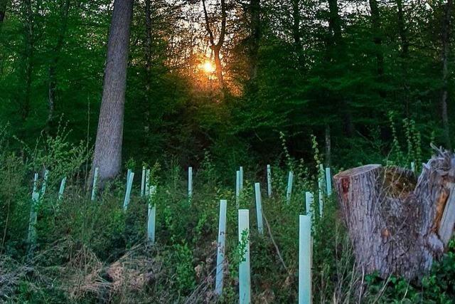 Große Baumvielfalt als Rezept gegen Klimawandel im Schallstadter Wald