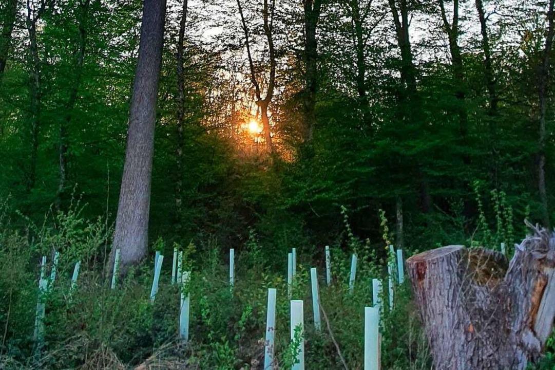 Alte Baumriesen und durch Plastikhülse...biss geschützte Jungbäume im Mooswald.    Foto: Julius Wilhelm Steckmeister