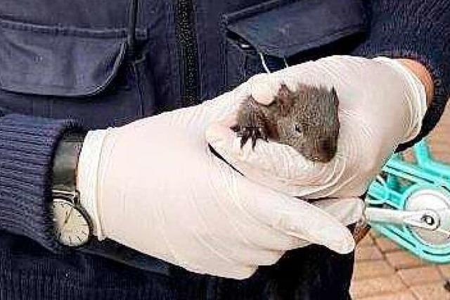 Anhänglich: Junges Eichhörnchen sucht Schutz bei Schutzmann