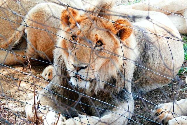 In Südafrika will die Regierung die gnadenlose Vermarktung der Löwen stoppen