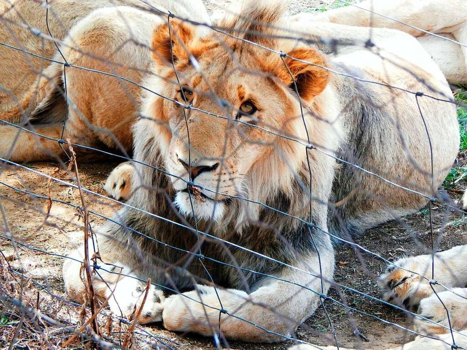 Löwe in Auffangstation  | Foto: Adam Peyman (dpa)