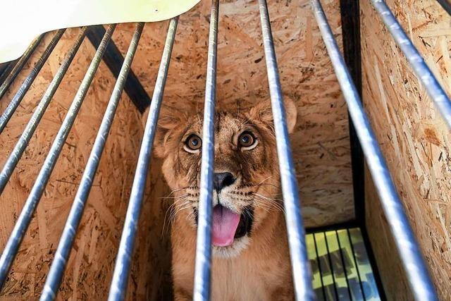 Warum sind Löwen in Gefahr?