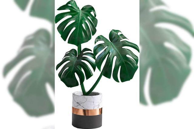 Die Monstera-Kletterpflanze hat die Blätter mit dem Swag