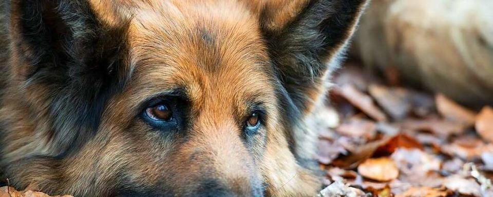 Bei den Schäferhundzüchtern in Nollingen wurde eingebrochen