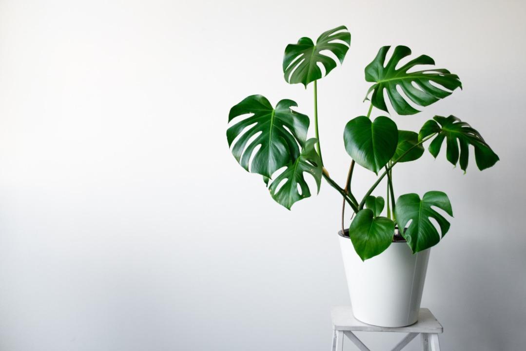 Die Monstera ist heute so beliebt, das... Pflanze die Kreation eines Oberteils.  | Foto: NIKITA SOZIN