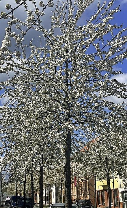 Blühende Bäume in der Berliner Straße, der Trebbiner Hauptstraße    Foto: Ina Schulze