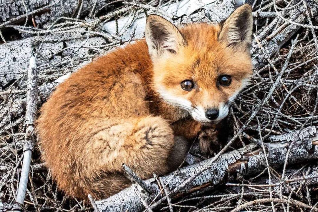 Diesen Fuchs hat Klaus Tritschler fotografiert.  | Foto: Klaus Tritschler