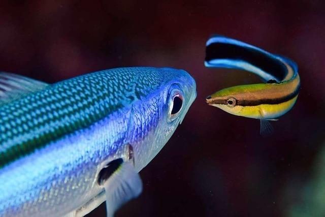 Die geschäftstüchtigen Putzer-Lippfische