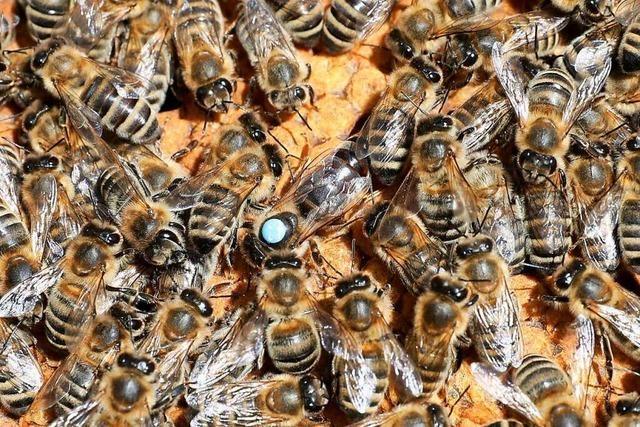 Imker müssen ihre Bienen füttern, damit sie überleben