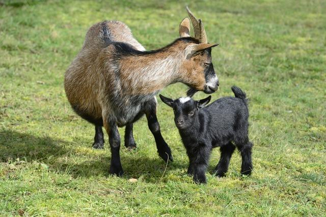 Ziegenhaltung wird im Kreis Lörrach immer beliebter