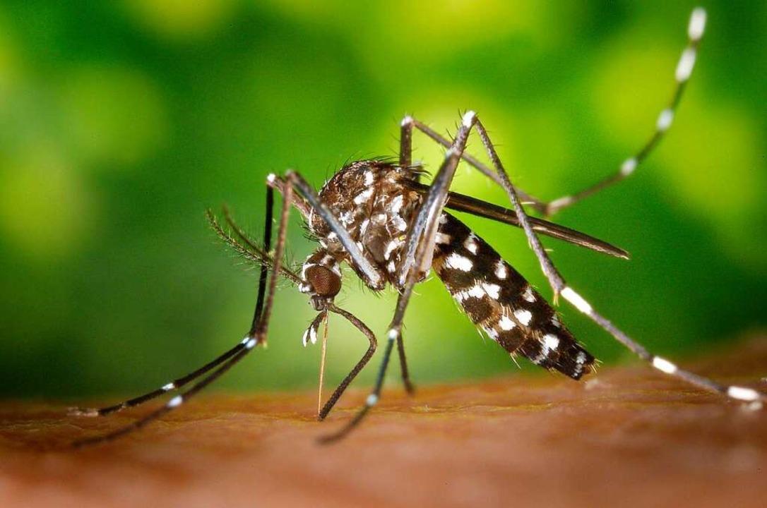 Eine Tigermücke  | Foto: James Gathany/CDC
