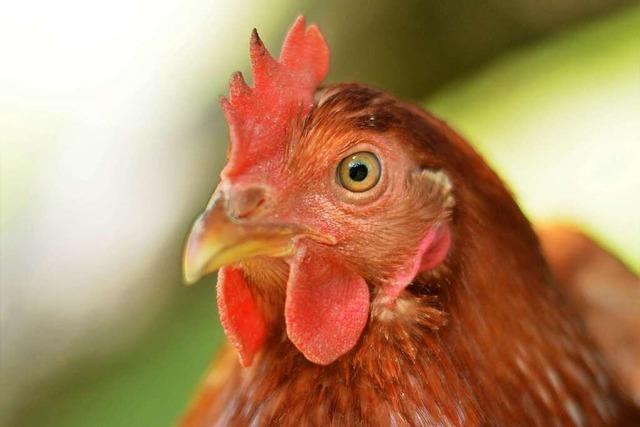 Vogelgrippevirus jetzt auch in Kehl-Kittersburg festgestellt