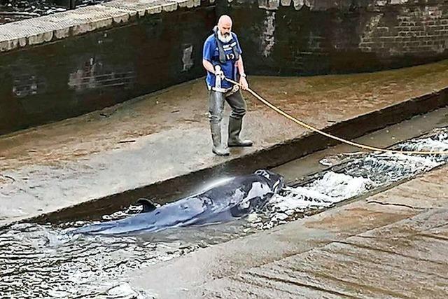 Verirrter Minkwal in Londoner Themse eingeschläfert