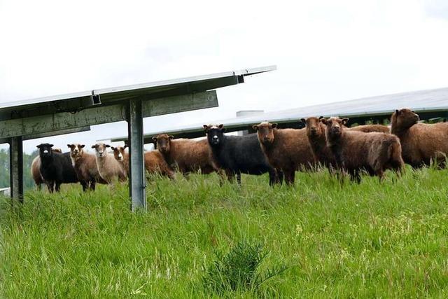Solarpark in Herten bietet Insekten und Schafen einen Lebensraum