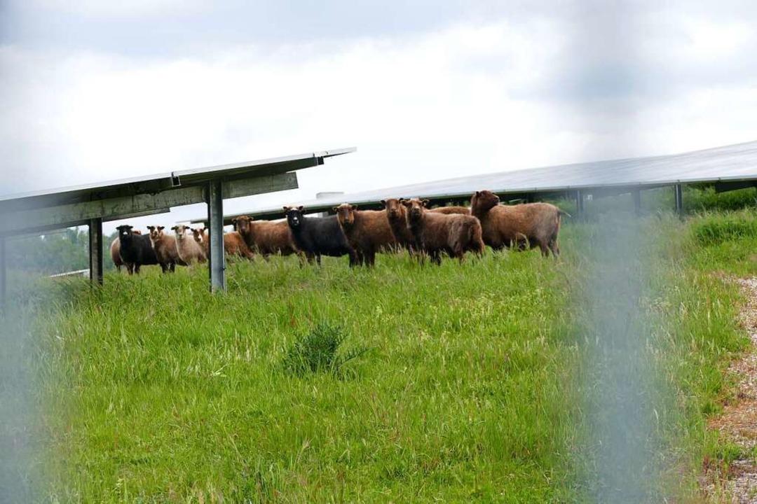 Tun ihren Dienst als Rasenmäher: Zwölf Schafe weiden auf der Anlage.  | Foto: Dora Schöls