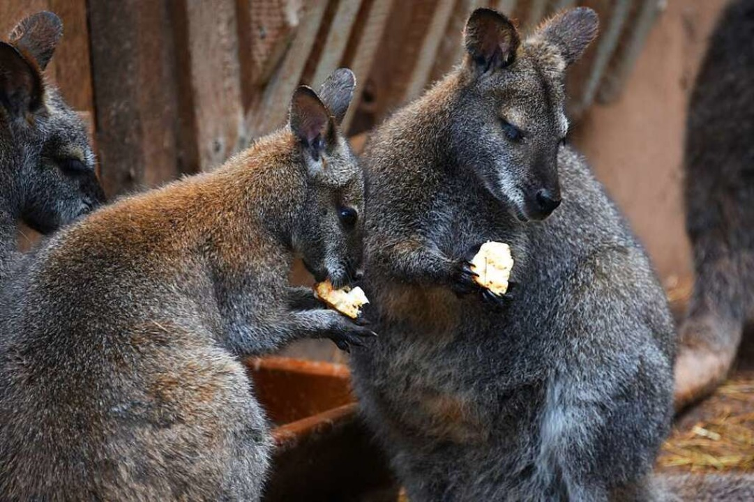 Äpfel schmecken auch den Kängurus  | Foto: Robert Bergmann
