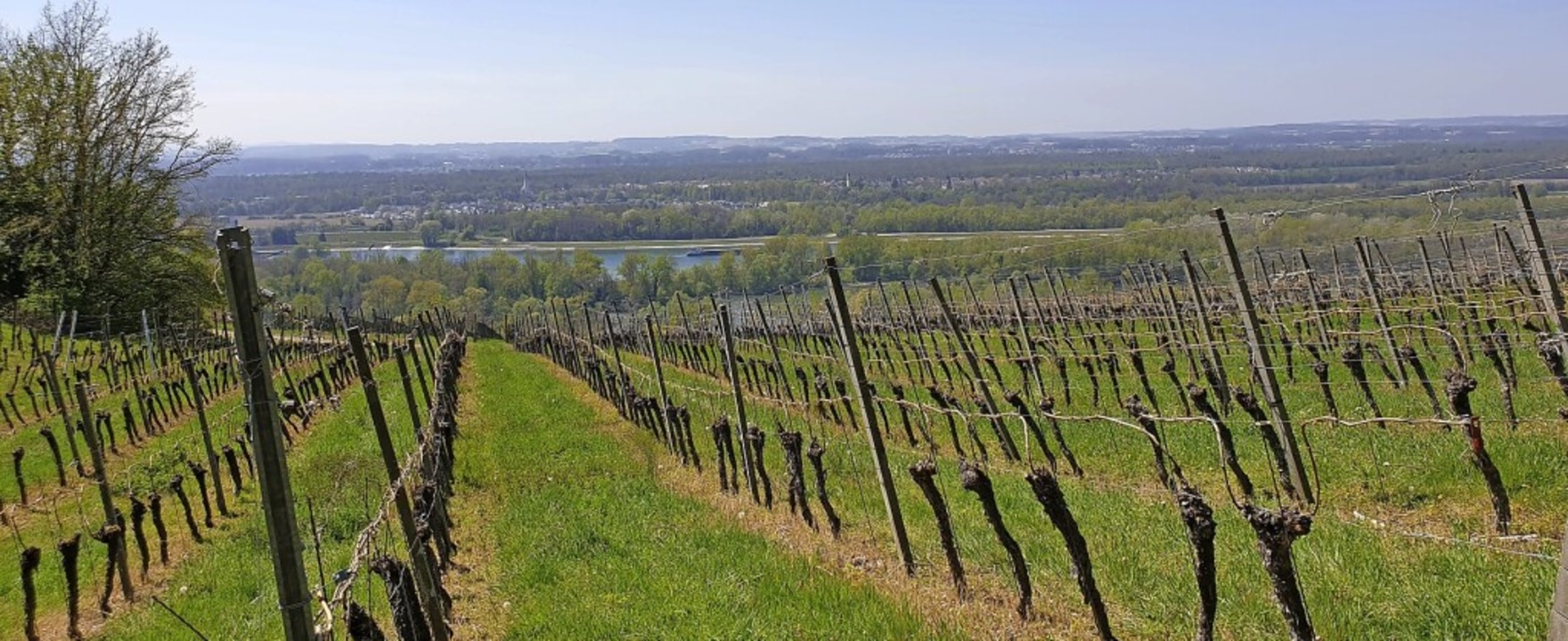 Aussicht über Reben: Der Blick schweif...den Rhein bis hinüber nach Frankreich.    Foto: Gabriele Poppen