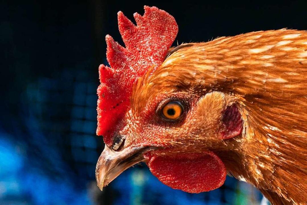 Hühner im Landkreis können sich außerhalb ihrer Ställe  wieder sicherer fühlen.    Foto: Hubert Gemmert