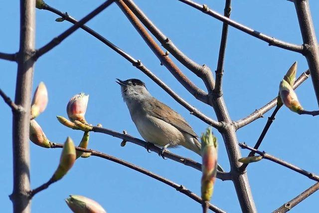 Der Ettenheimer Vogelexperte Hartmut Mohr erklärt, worauf es beim Vögelbeobachten ankommt