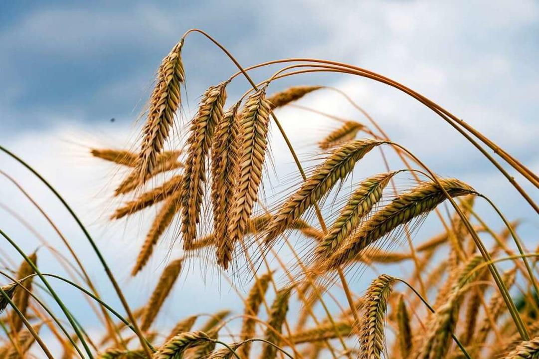 Getreideexperten beobachten derzeit kr...ei Weizen, Mais und Ölsaaten wie Raps.  | Foto: Jens Kalaene (dpa)