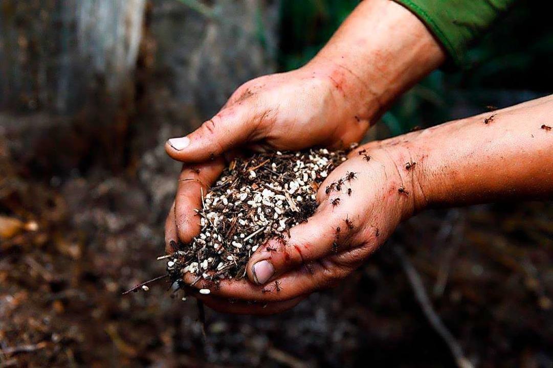 Die Ameisen wehren sich, beißen, versprühen Säure.  | Foto: Andrea Grasser
