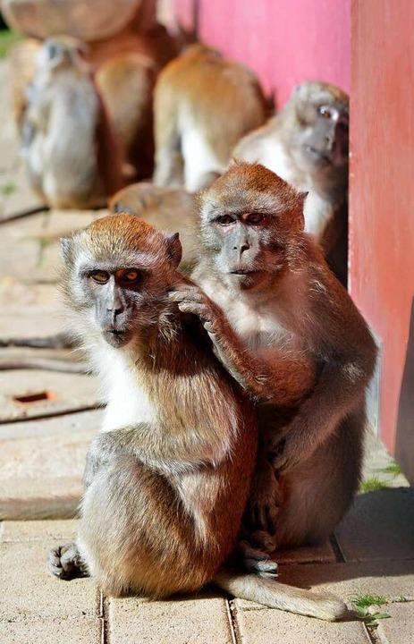 Derzeit die einzigen Primaten, die ohne Maske auf den Mundenhof dürfen: Affen.    Foto: Michael Bamberger