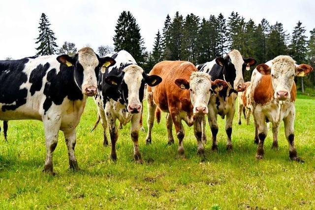 85 Rinder kommen auf die Weide