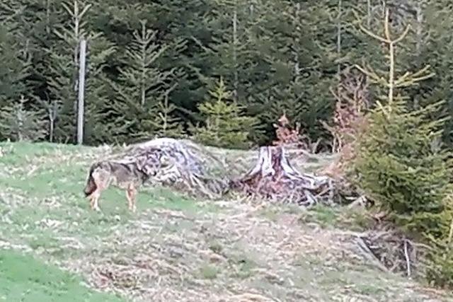 Video: Jägerin filmt einen Wolf bei der Jagd am Feldberg