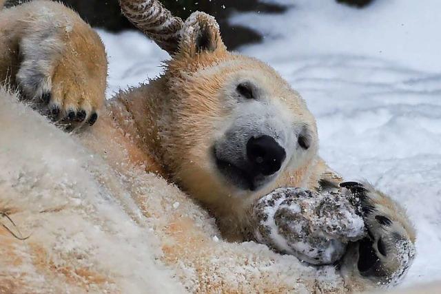 Schock über Inzucht bei Eisbären im Berliner Tierpark