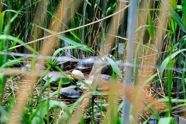 Absperrungen sollen Schwanenbrut am Seepark vor Besuchern schützen