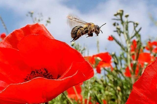 Dieser Frühling ist für Bienen zu kalt und zu nass