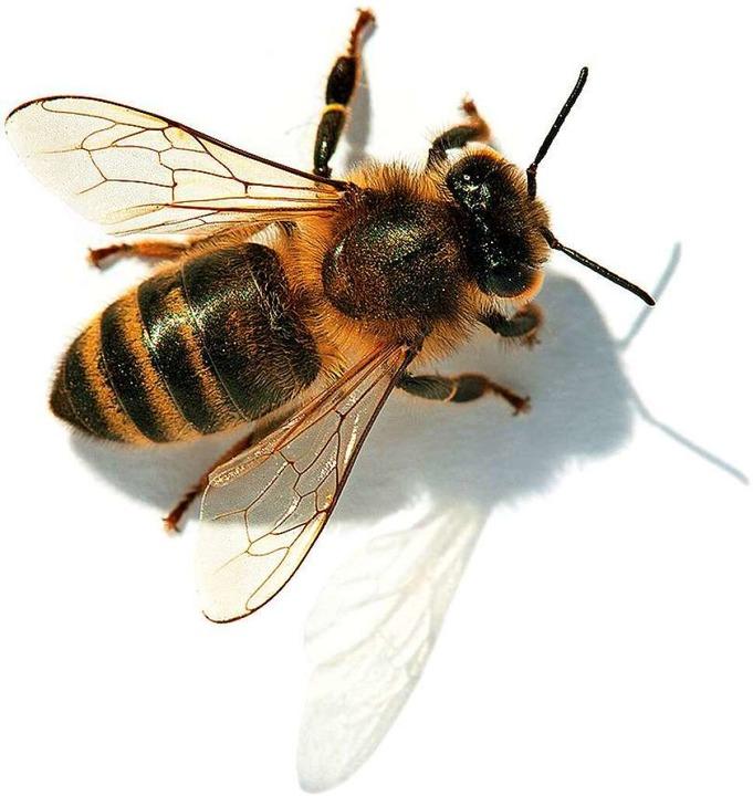 Eine Biene  | Foto: Daniel Prudek  (stock.adobe.com)