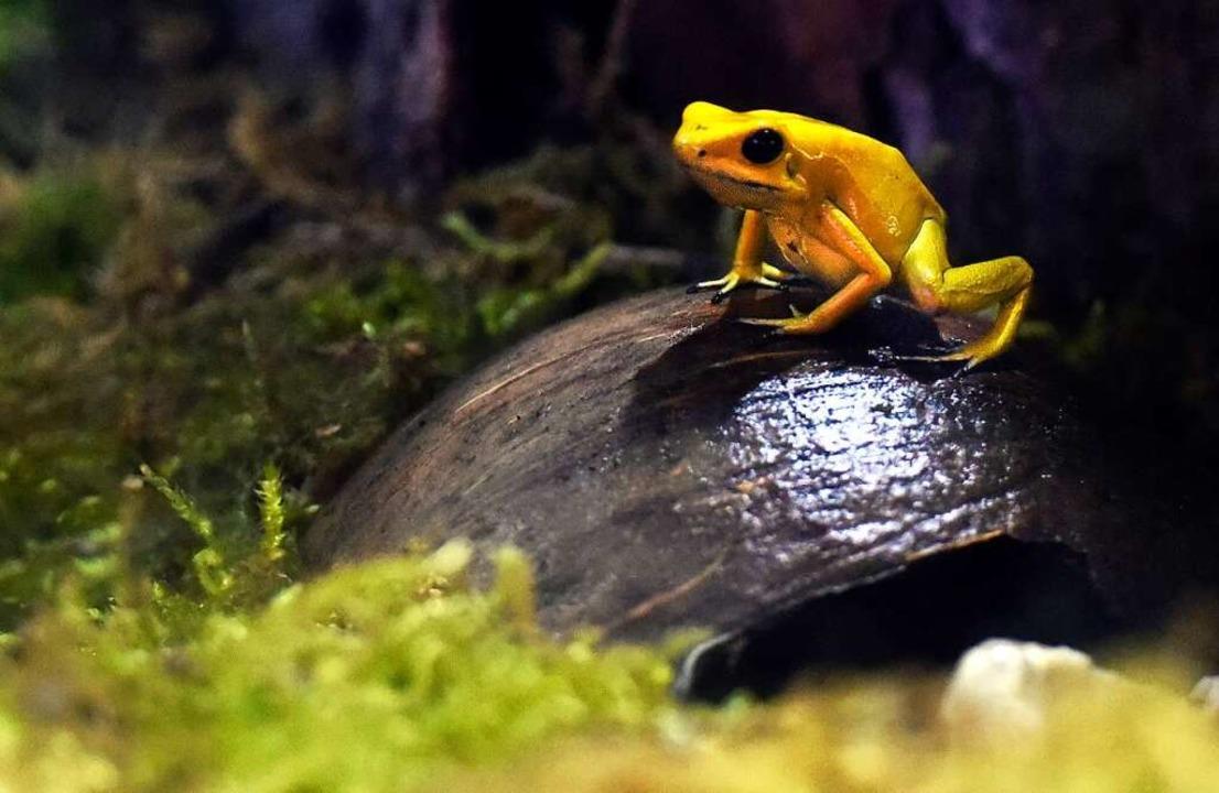 Leichter als die getarnten Kollegen zu finden: der Pfeilgiftfrosch  | Foto: Thomas Kunz