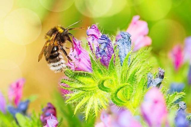 Wie in Grenzach-Wyhlen Habitate für Bienen und Insekten entstehen