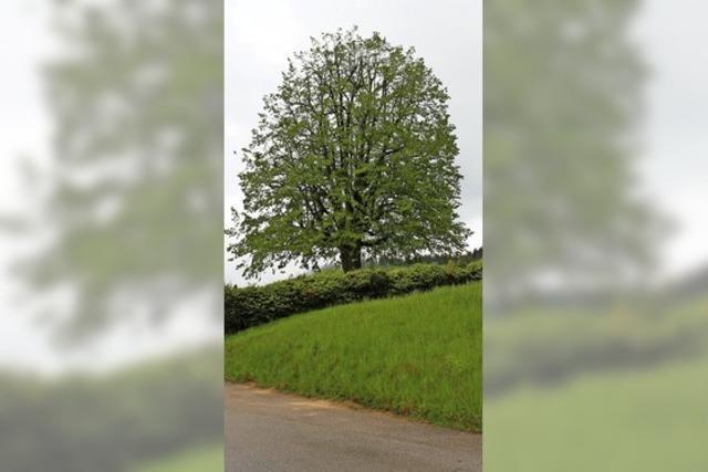 Friedhofslinde in Raich wird zum Naturdenkmal