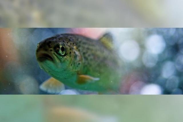 Weniger Forellen aus der Zucht
