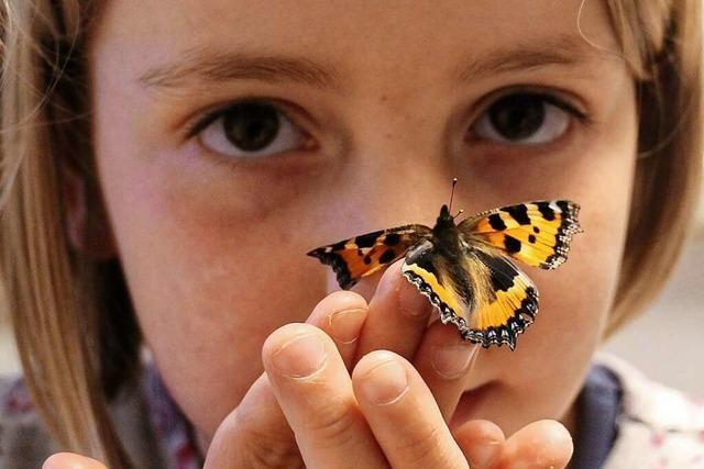 Eine siebenjährige Herbolzheimerin zieht Schmetterlinge groß