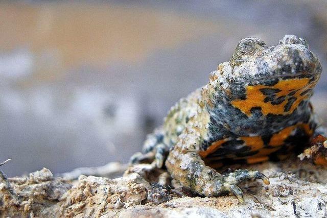 Besorgniserregender Rückgang bei Amphibien in der Ortenau