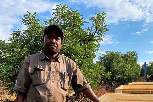 Südafrikanische Avocado-Plantagen sind vom Plündern bedroht