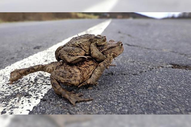 Amphibien sollen geschützt wandern
