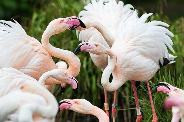 Das Wetter verleidet den Flamingos im Basler Zoo die Lust auf die Paarung