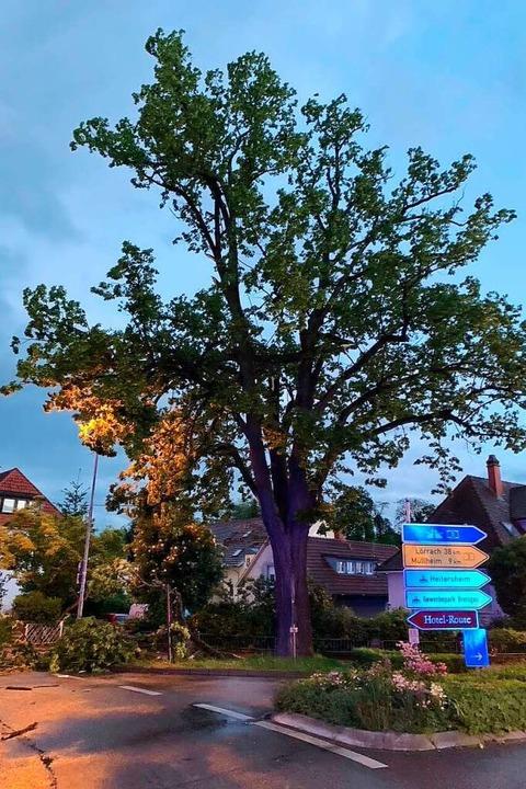 Ein Teil der Krone hing quer im Baum u...ohte, auf die Bundesstraße zu stürzen.    Foto: Feuerwehr Heitersheim