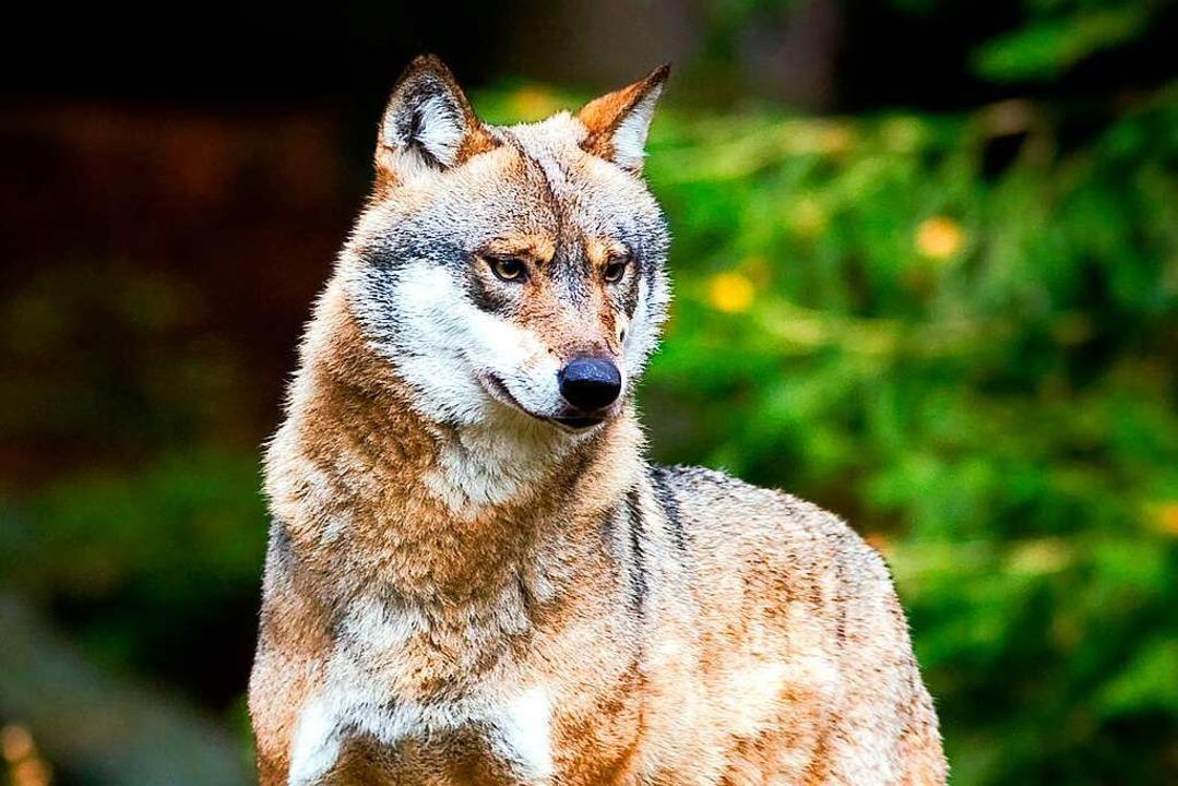 Ein neuer Wolf wurde bei Hinterzarten gesichtet.    Foto: Patrick Pleul