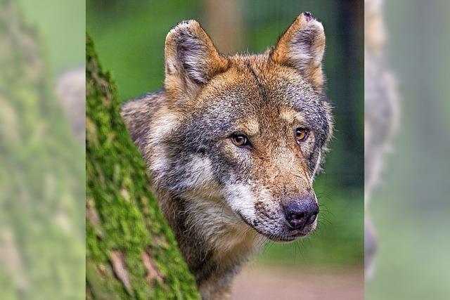 Im Rinkengebiet ist ein Wolf nachgewiesen