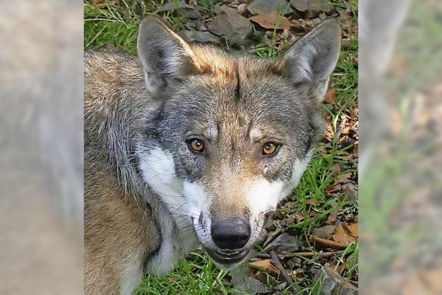Bislang unbekannter Wolf tötet Reh bei Hinterzarten
