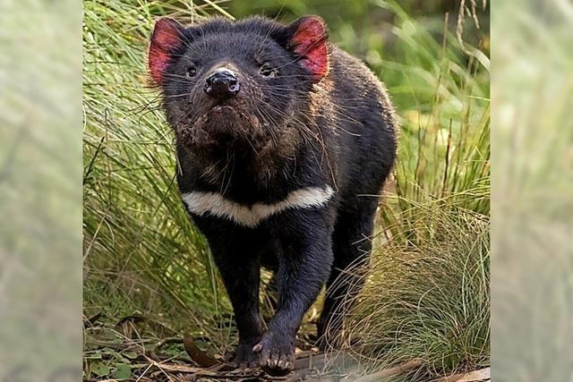Tasmanische Teufel leben wieder auf dem Festland