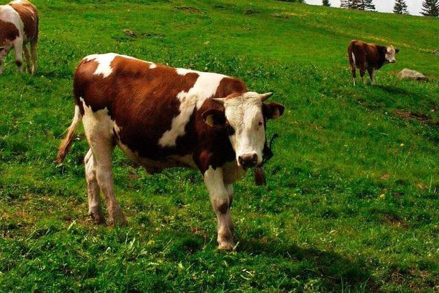 Alle ausgebüxten Rinder in Rickenbach sind wieder da