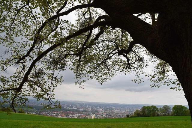 Wie die Mistel den Bäumen in Lörrach das Leben schwer macht